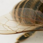 honey bee wings photograph